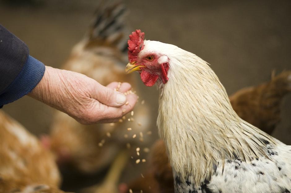 animal, chicken, cockerel