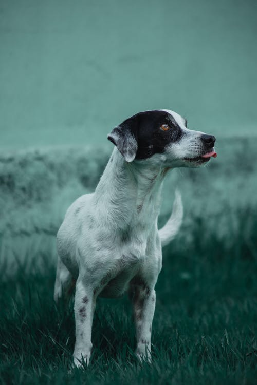 Free stock photo of dog, white dog