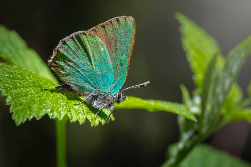 Close Up Photo of a Green Hairstreak Butterfly Perched on Green Leaf