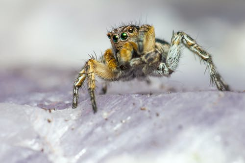 Brown and Black Jumping Spider on White Surface