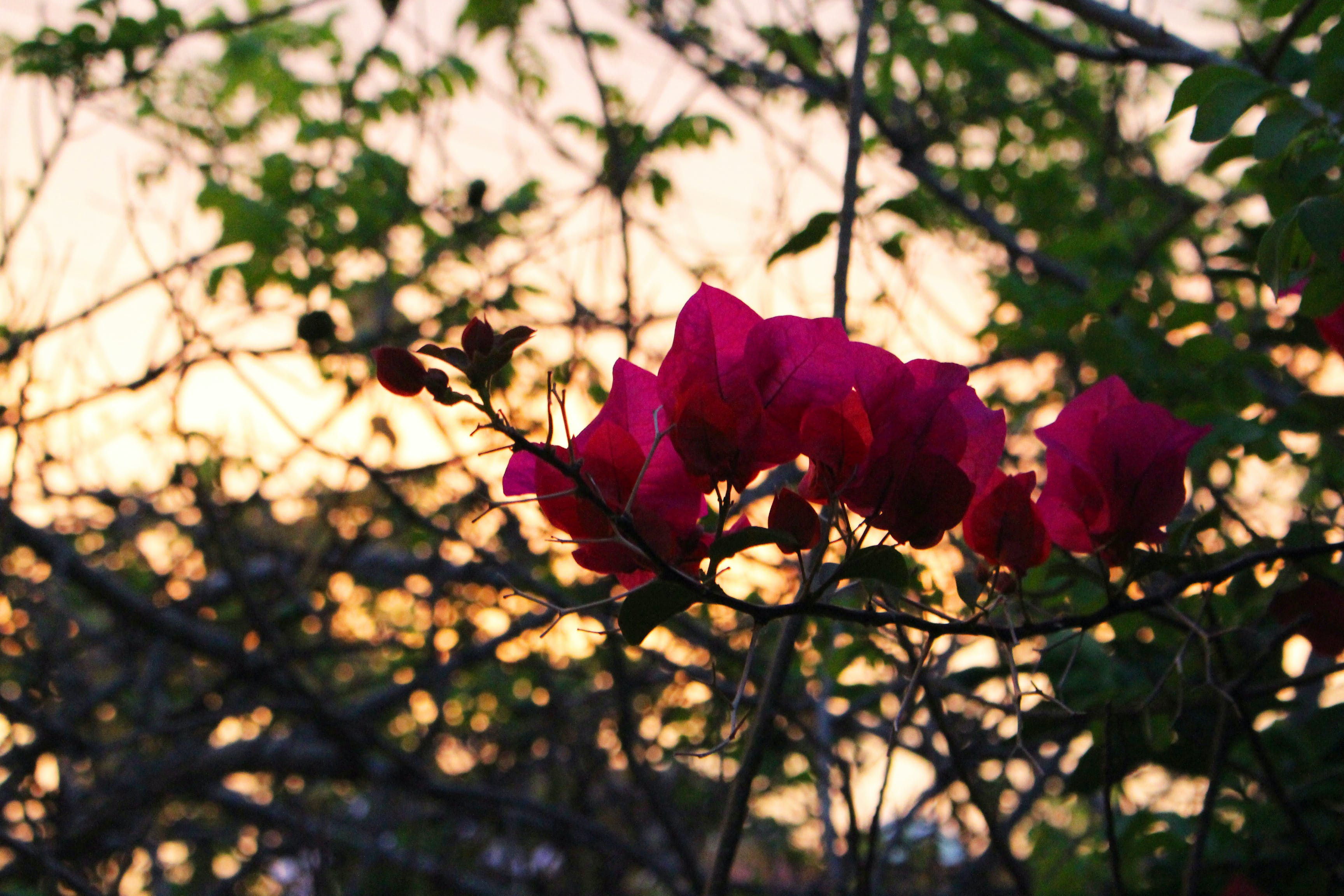 Free stock photo of flowers, nature, pink, sunset