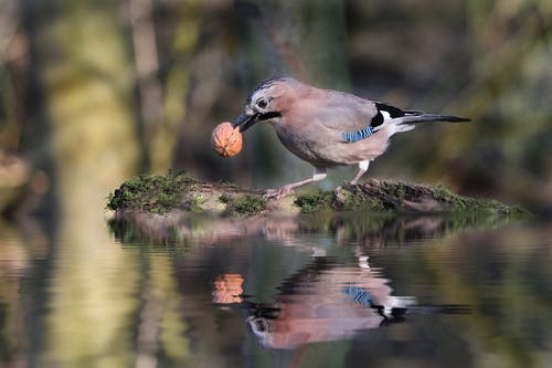 Cute Jay bird with gray plumage and blue feathers on wings holding walnut in beak while standing on twig on pond and reflecting on calm water