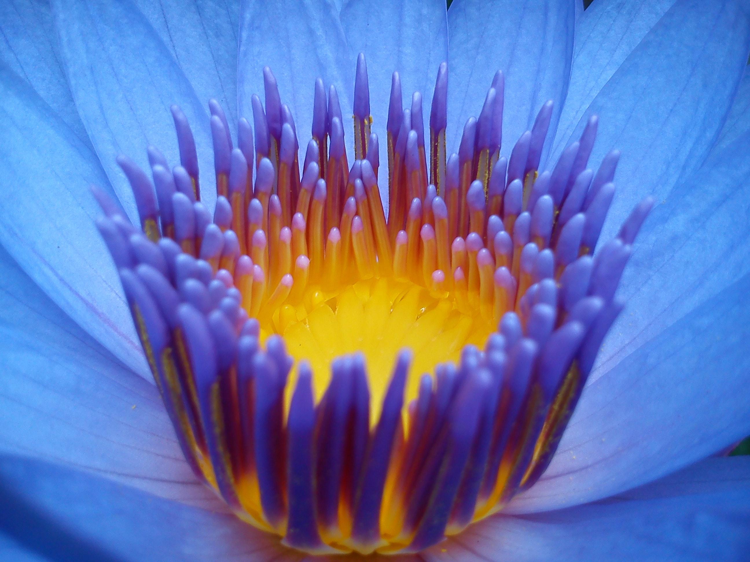 Free Stock Photo Of Flowers Lotus