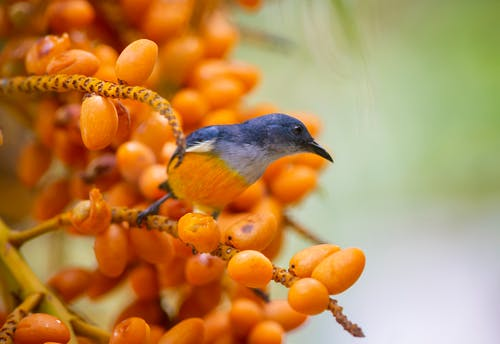 Orange-bellied Flowerpecker Perched On Tree Branch