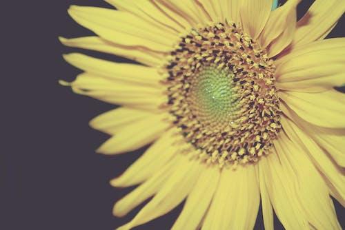 Kostenloses Stock Foto zu blume, cornflowers, sommer