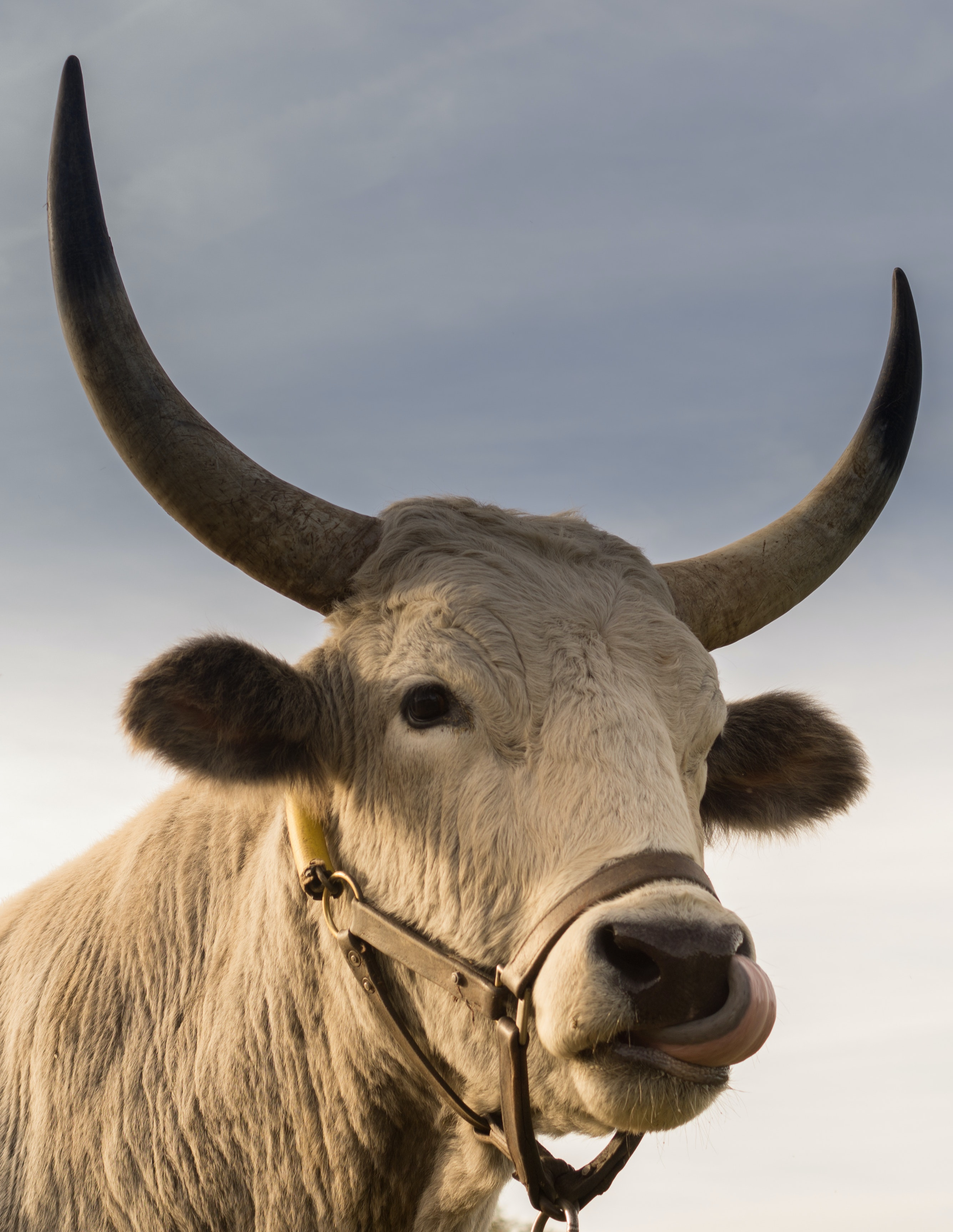 Brown Bull On Green Glass Field Under Grey And Blue Cloudy