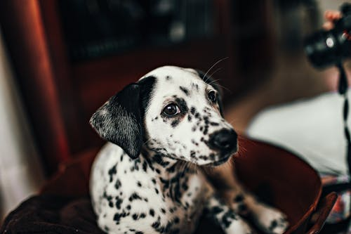 White And Black Dalmatian On Red Chair