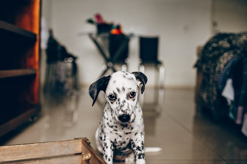 Adorable purebred Dalmatian puppy sitting on floor of bedroom and looking at camera