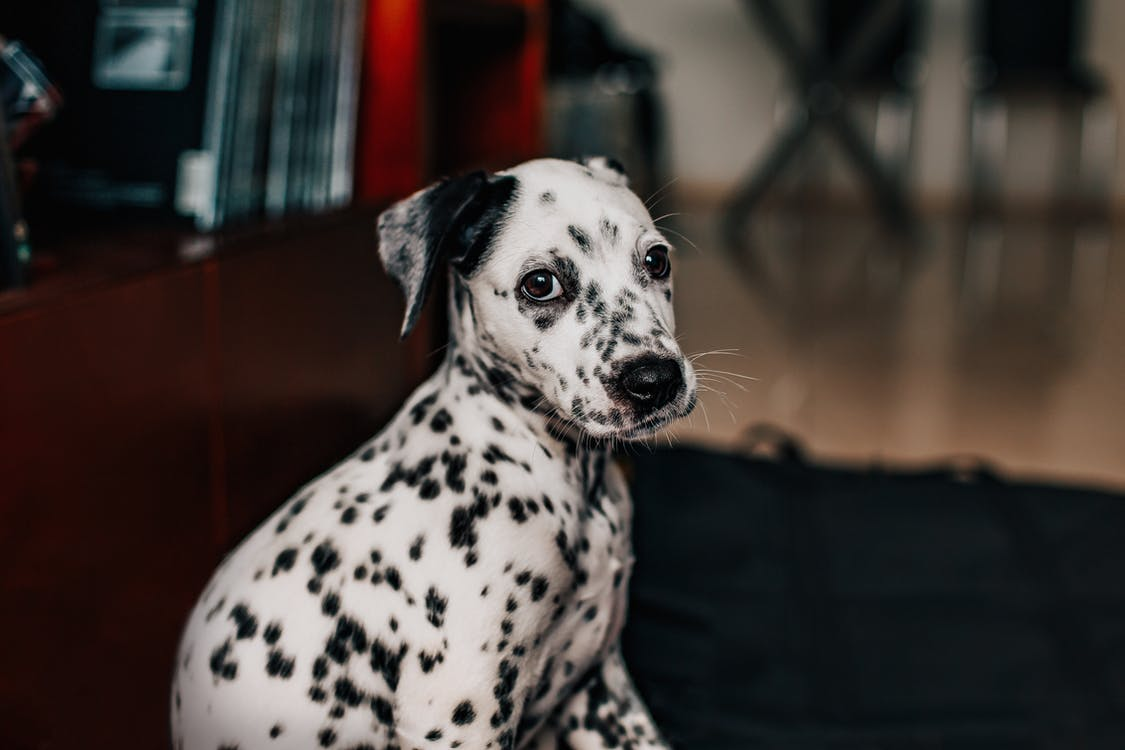 Side view Photo Of Dalmatian Dog