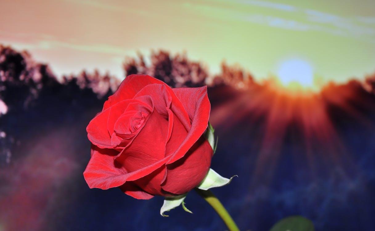 Red Petal Rose during Sunset