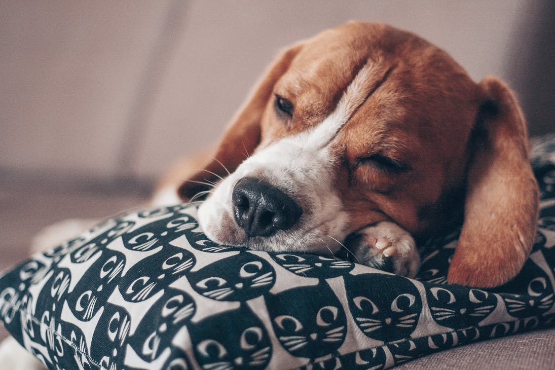 Selective Focus Photo of Brown and White Short Coated Dog Sleeping on White and Black Pillow
