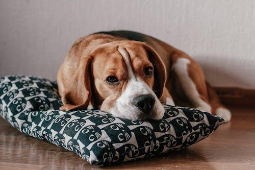 Foto Des Braunen Und Weißen Kurz Beschichteten Beagle, Der Auf Einem Kissen Liegt