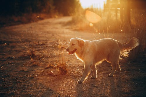 Golden Retriever Walking During Sunset