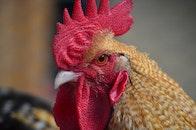 bird, chicken, cock