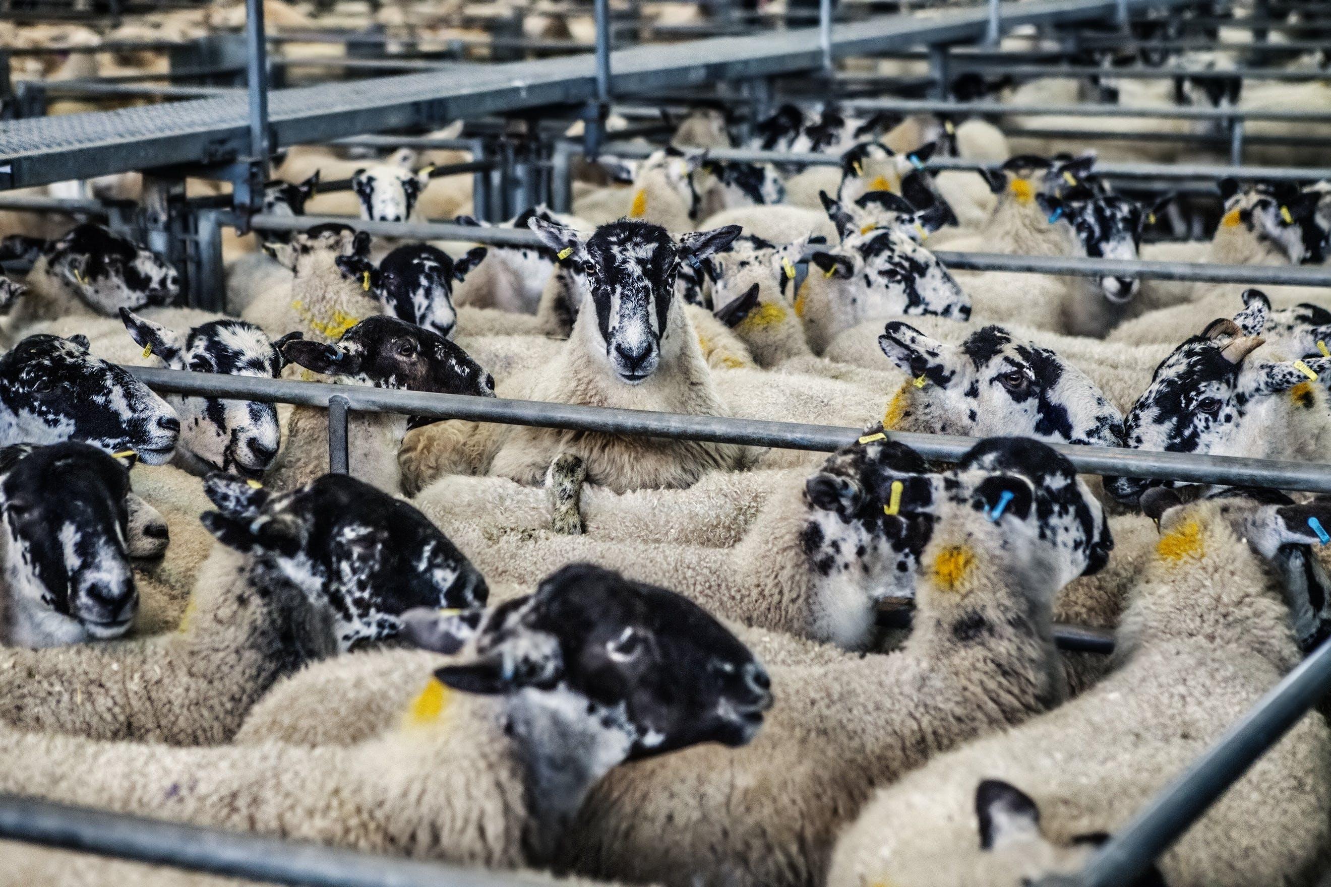 Black White and Beige Sheep