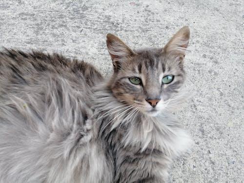 Free stock photo of cat, eyes, green, grey