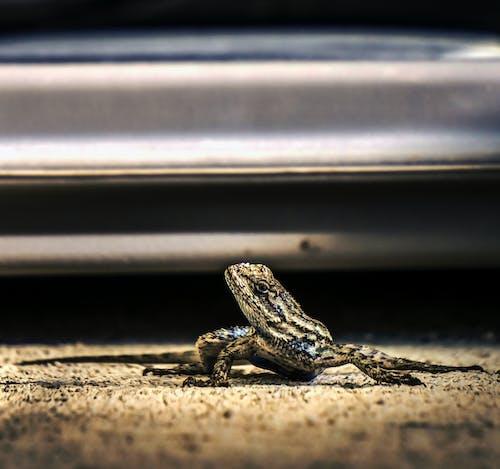 Kostnadsfri bild av ödla, reptil