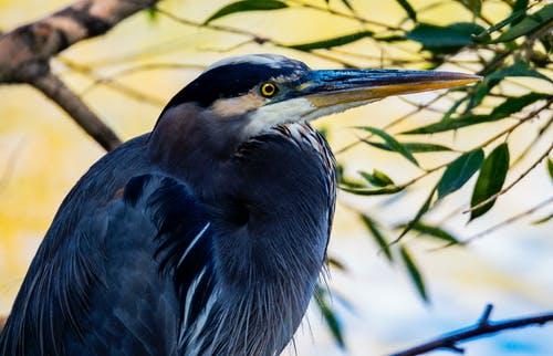 Close-up Photography of Blue Heron