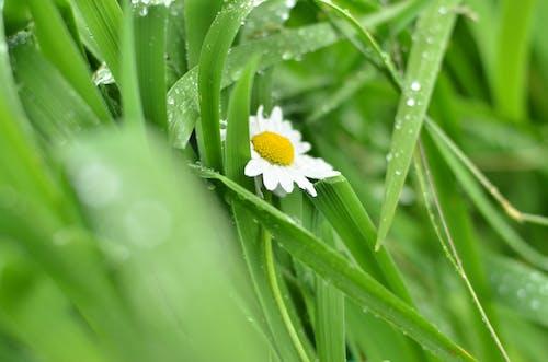 Foto profissional grátis de camomila, chuva, depois da chuva, ecológico