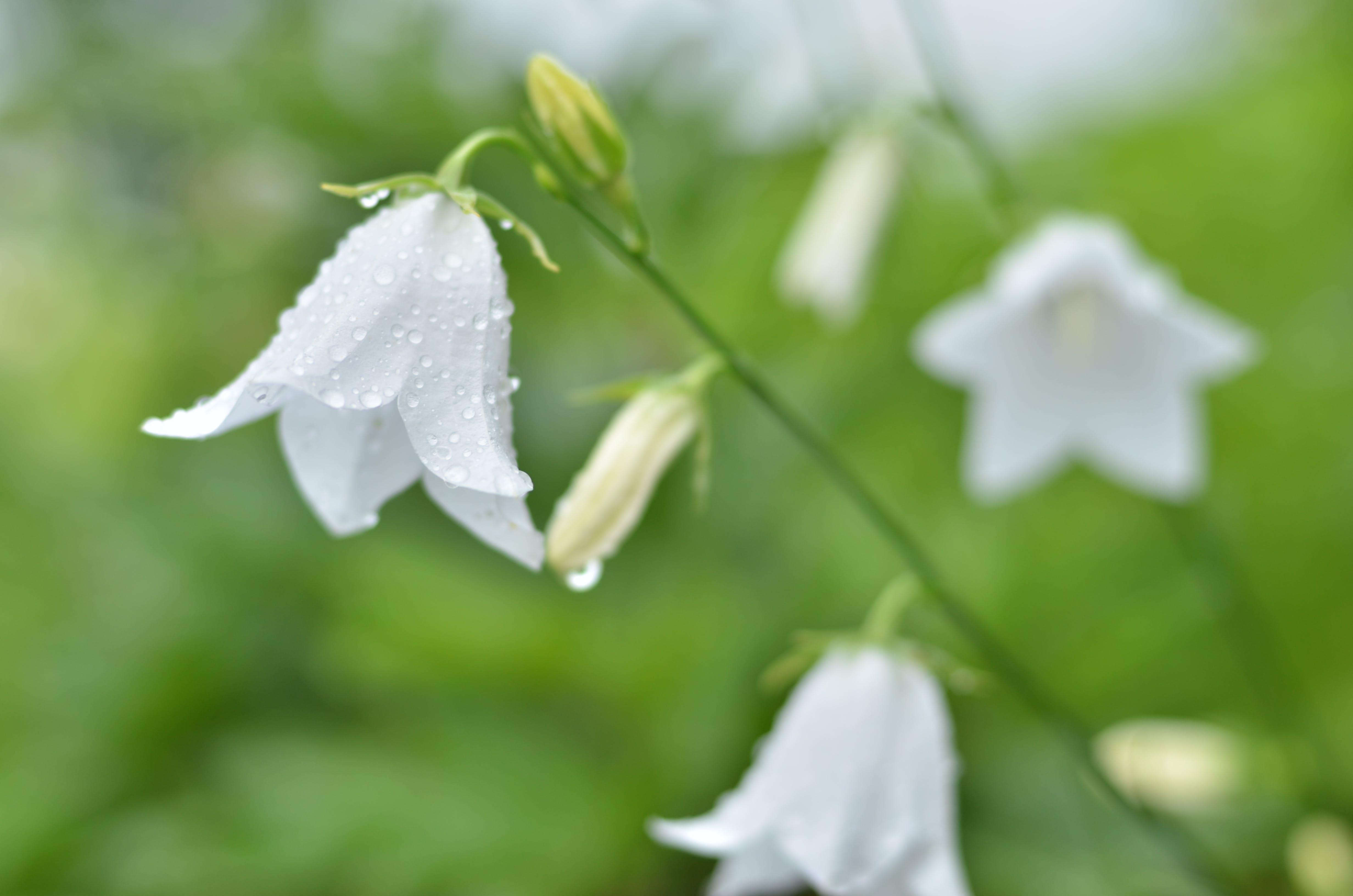 Free stock photo of bell-shaped flower, bellflower, campanula, grass