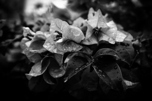Black and white gentle petals and leaves of delicate flowers with raindrops growing in garden