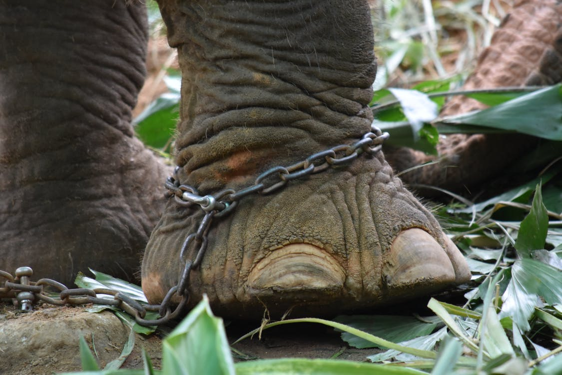 Brown Elephant With Chain