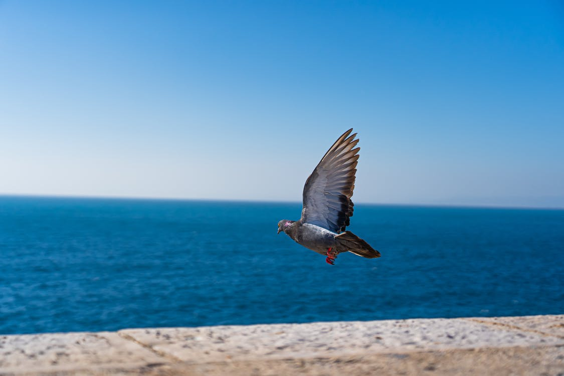 Grey Gull Flying over the Sea