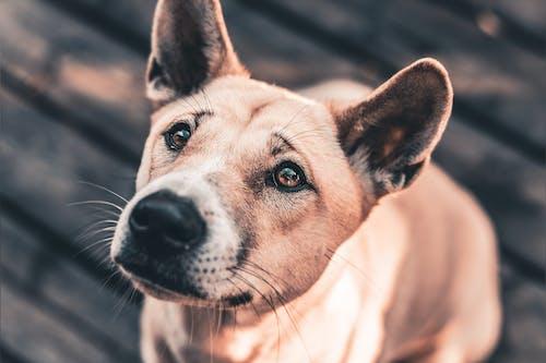 Close Up Foto Van Brown Short Coated Dog Zittend Op Houten Vloer