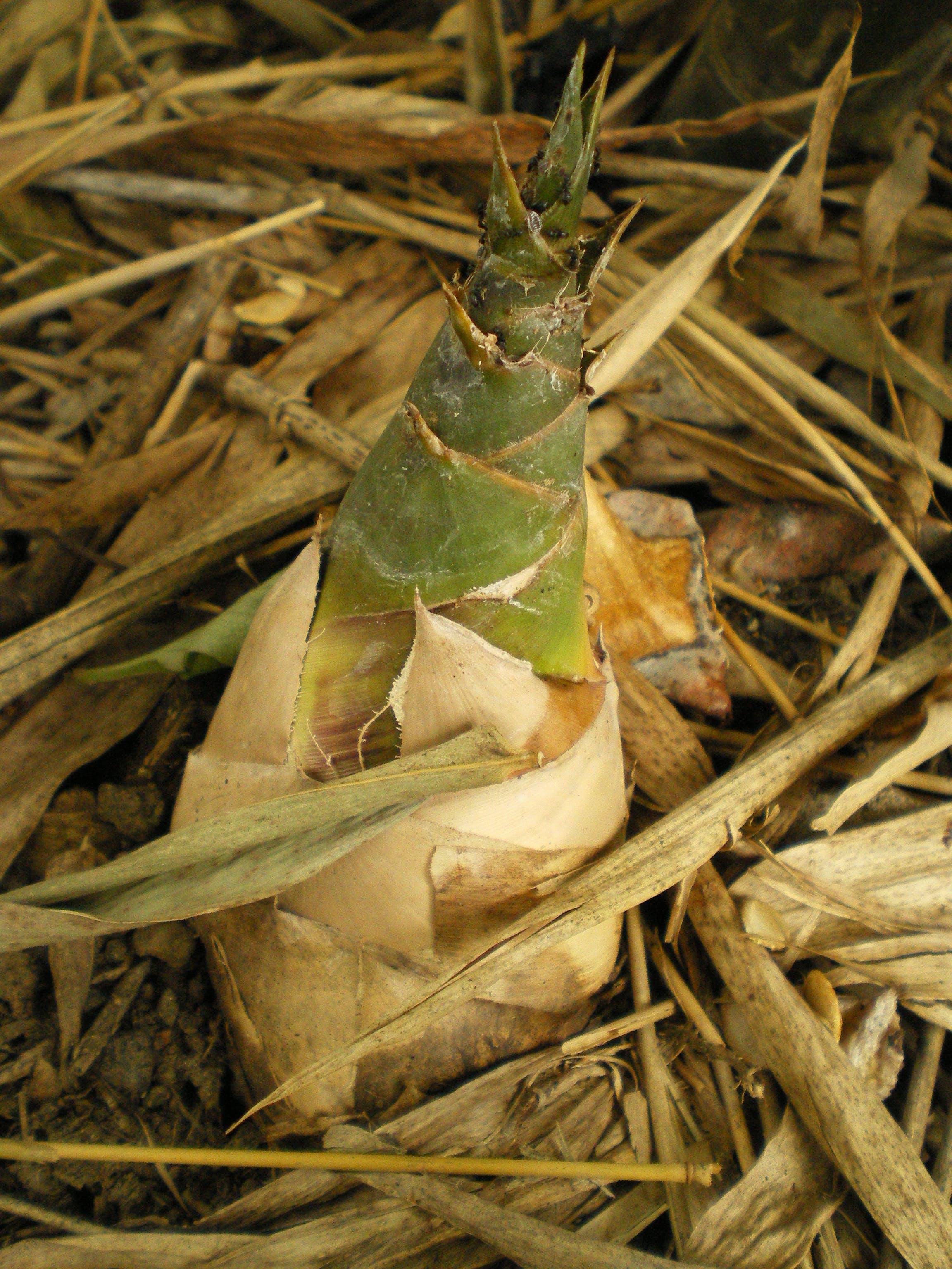 Free stock photo of bamboo, bamboo shoot, Bambuseae, brown