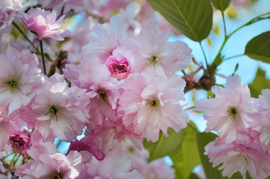Free stock photo of flower, blossoms, pink