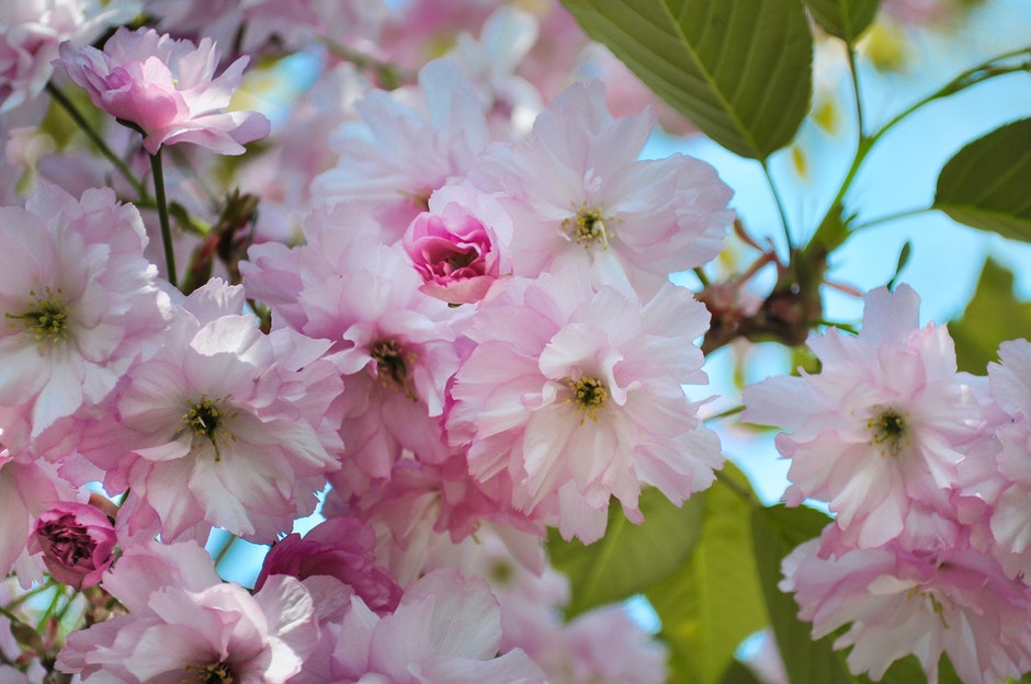 blossoms, flower, pink
