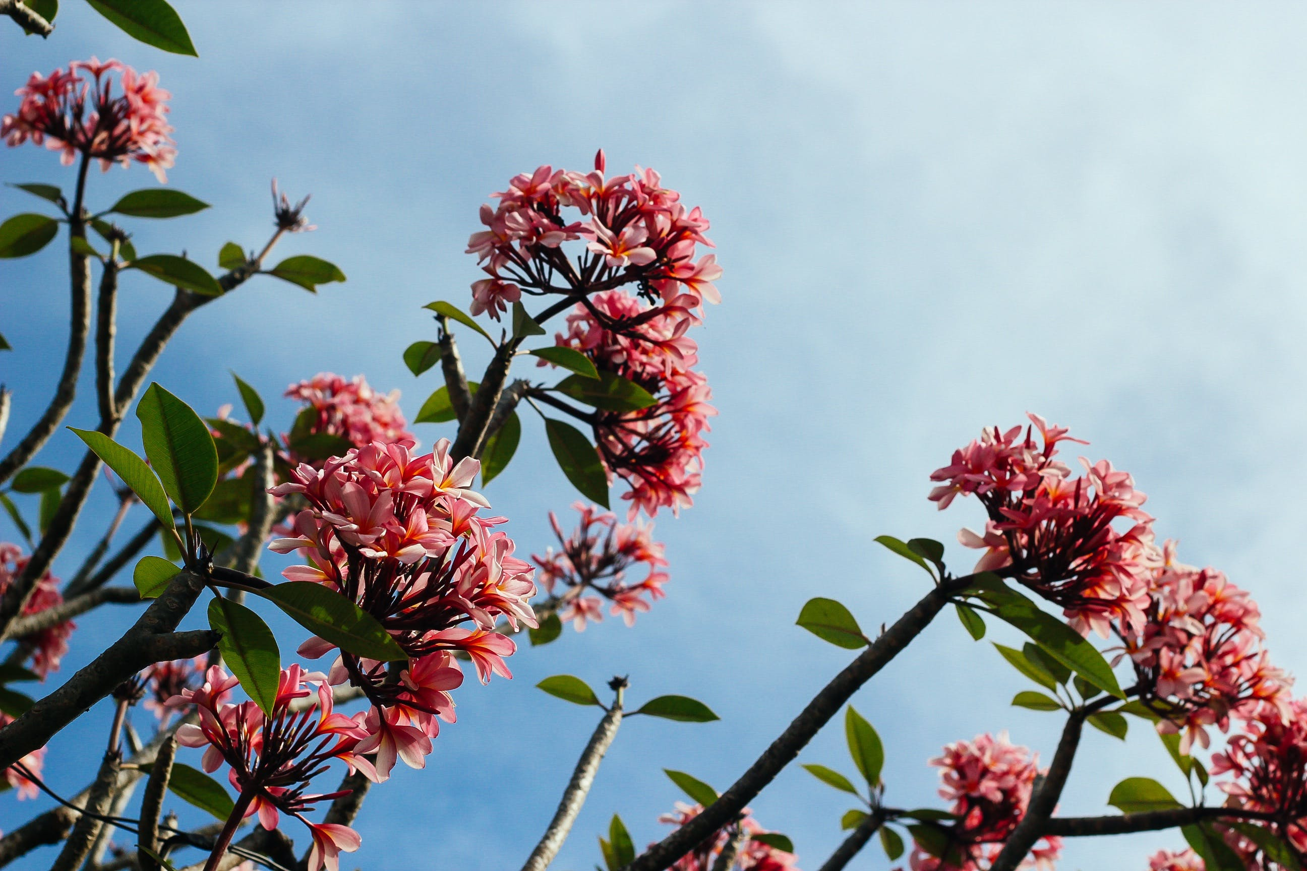 Close-up Photo of Pink Flowers Under White Clouds