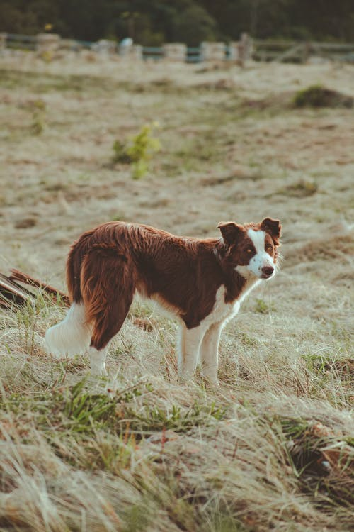 Attentive Border Collie dog with white and brown fur looking at camera standing on lawn in countryside
