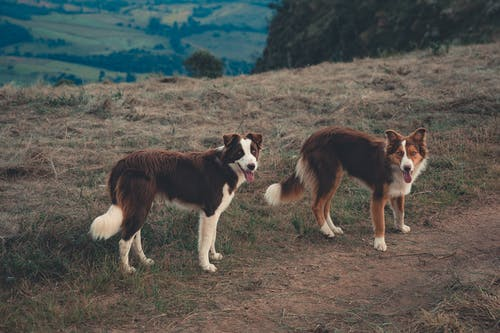 Purebred dogs in remote countryside highlands