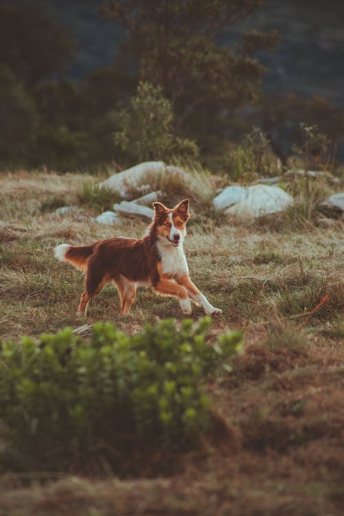 Happy active Border Collie dog running on rural meadow with rocks in daylight