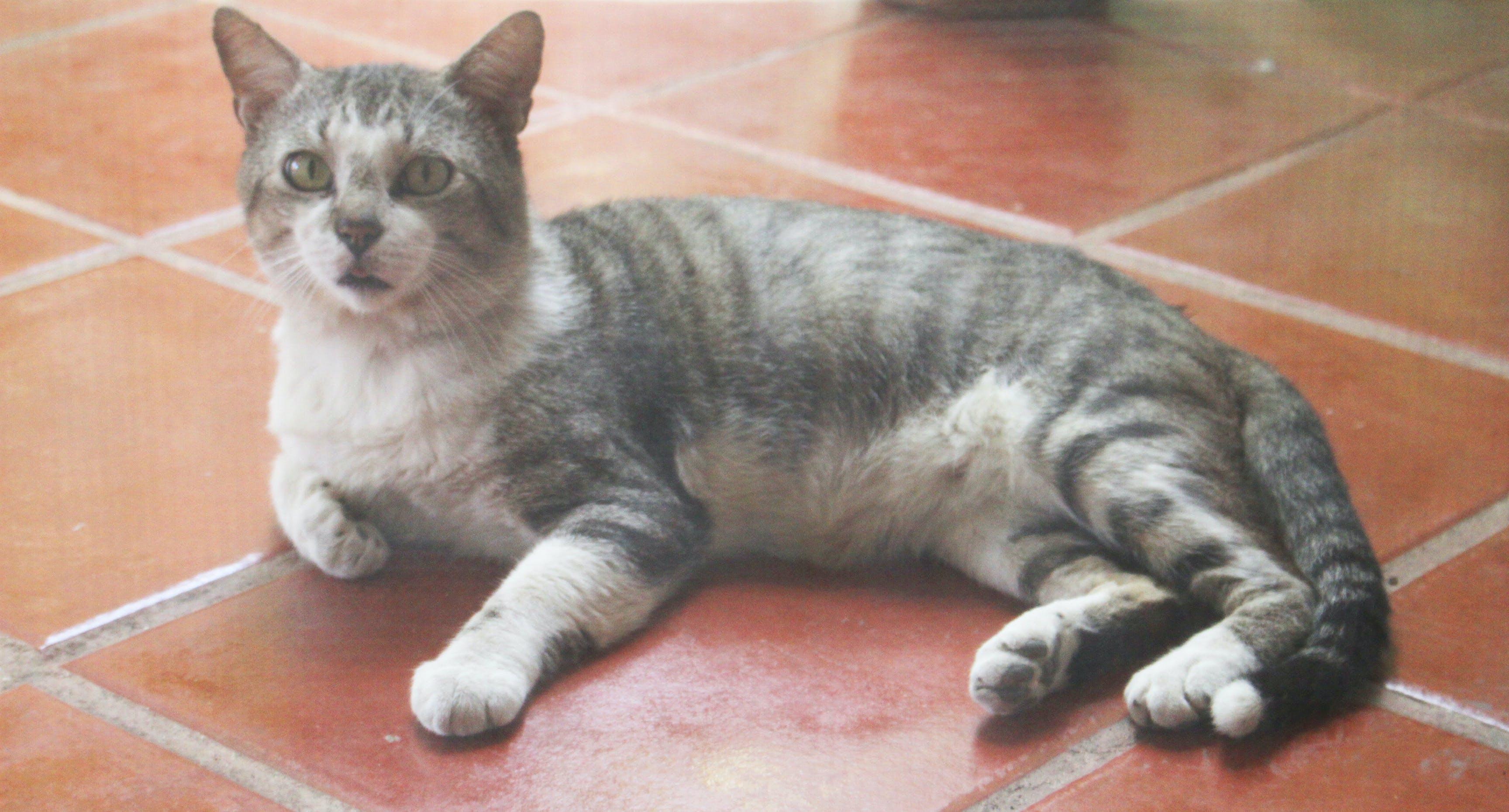Free stock photo of animal, cat, pet