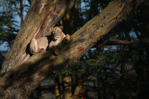 Lioness resting on tree in woodland
