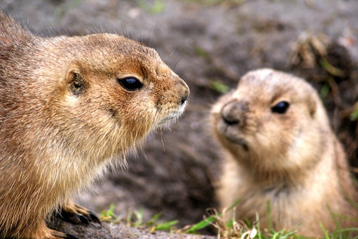 Free stock photo of animals, prairie dogs, rodents