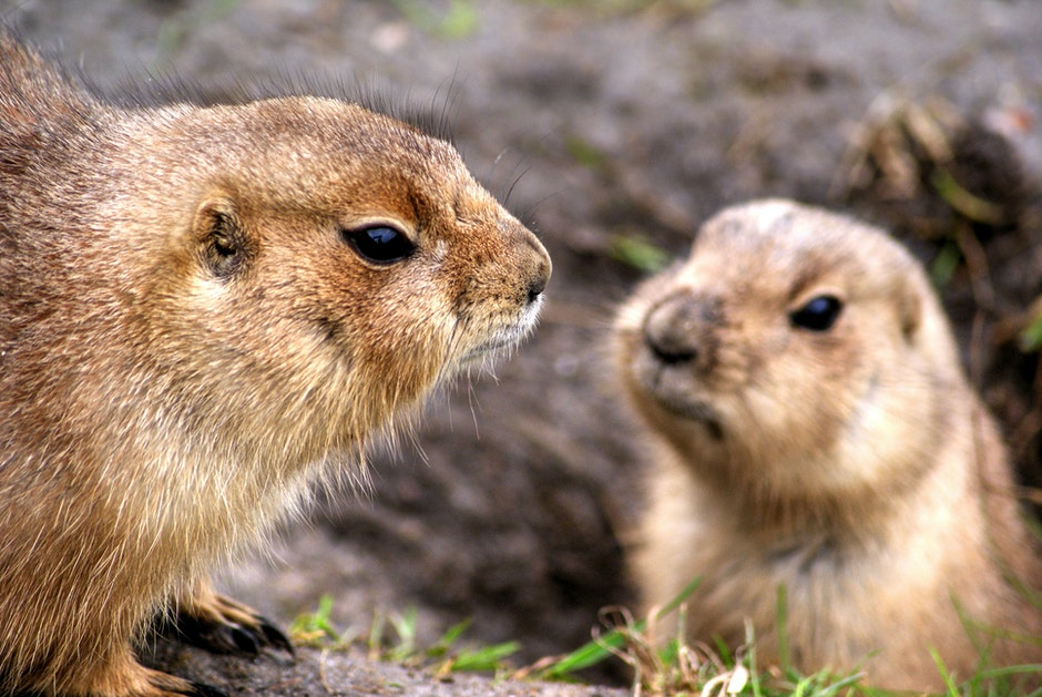 animals, prairie dogs, rodents