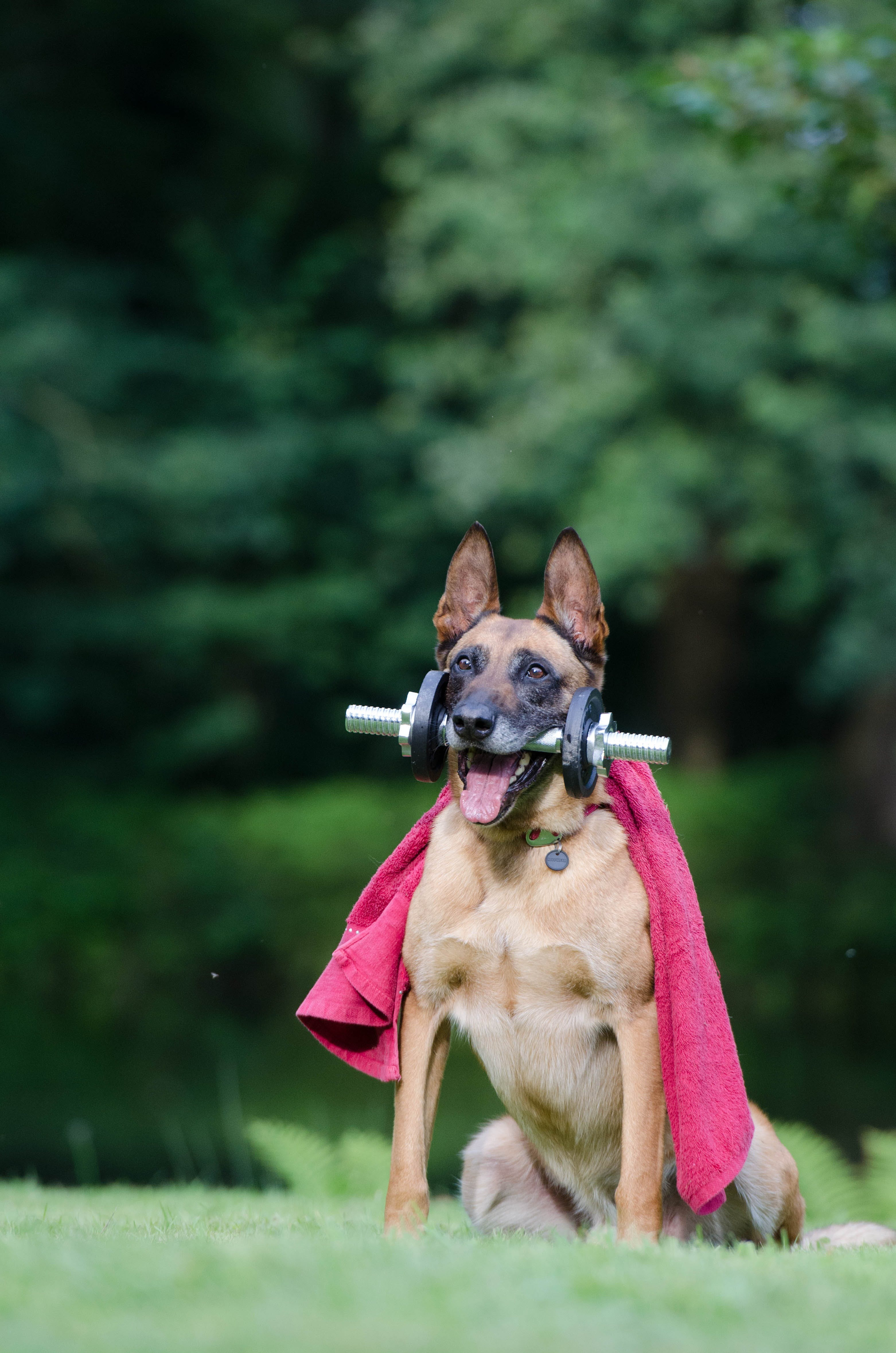 Adult Tan German Shepherd Biting Dumbbell While Sitting on Lawn Grass Selective Focus Photography