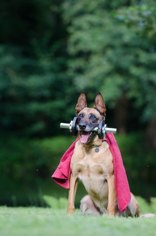 Безкоштовне стокове фото на тему «бельгійська вівчарка, виставка собак трюк, гантеля, здоровий»