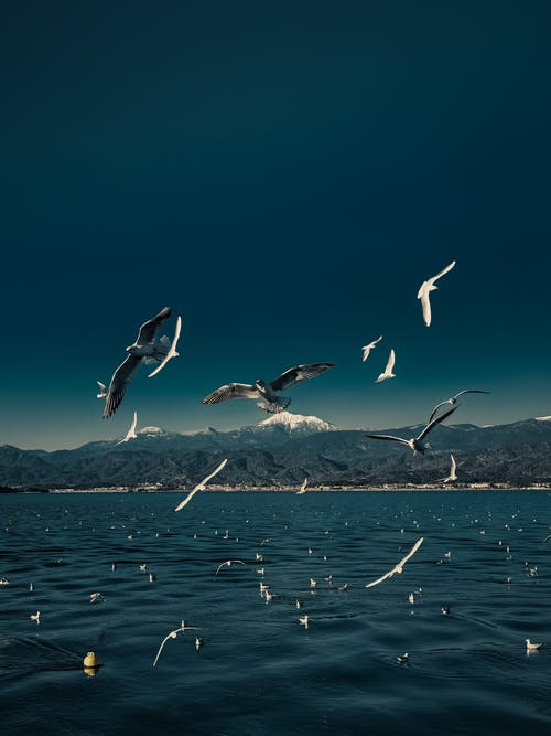 Flock of seagulls soaring over lake with blue clear water against high snowy mountains and cloudless sky
