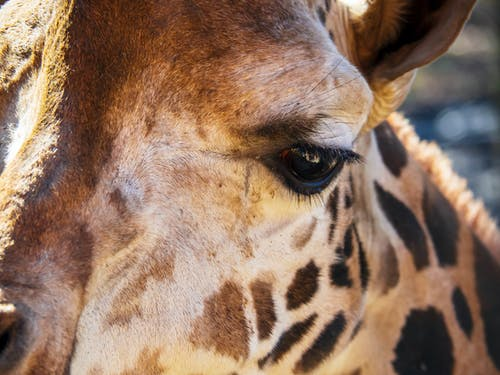 Základová fotografie zdarma na téma oko, žirafa, zoo