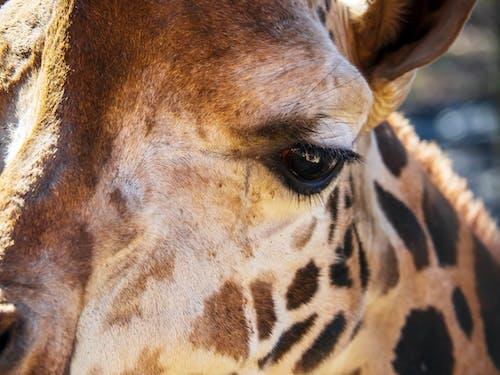 Free stock photo of animal, eye, giraffe