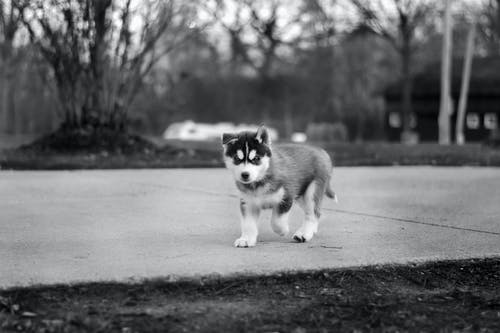 Grayscale Photo of Siberian Husky Puppy Walking on Pavement