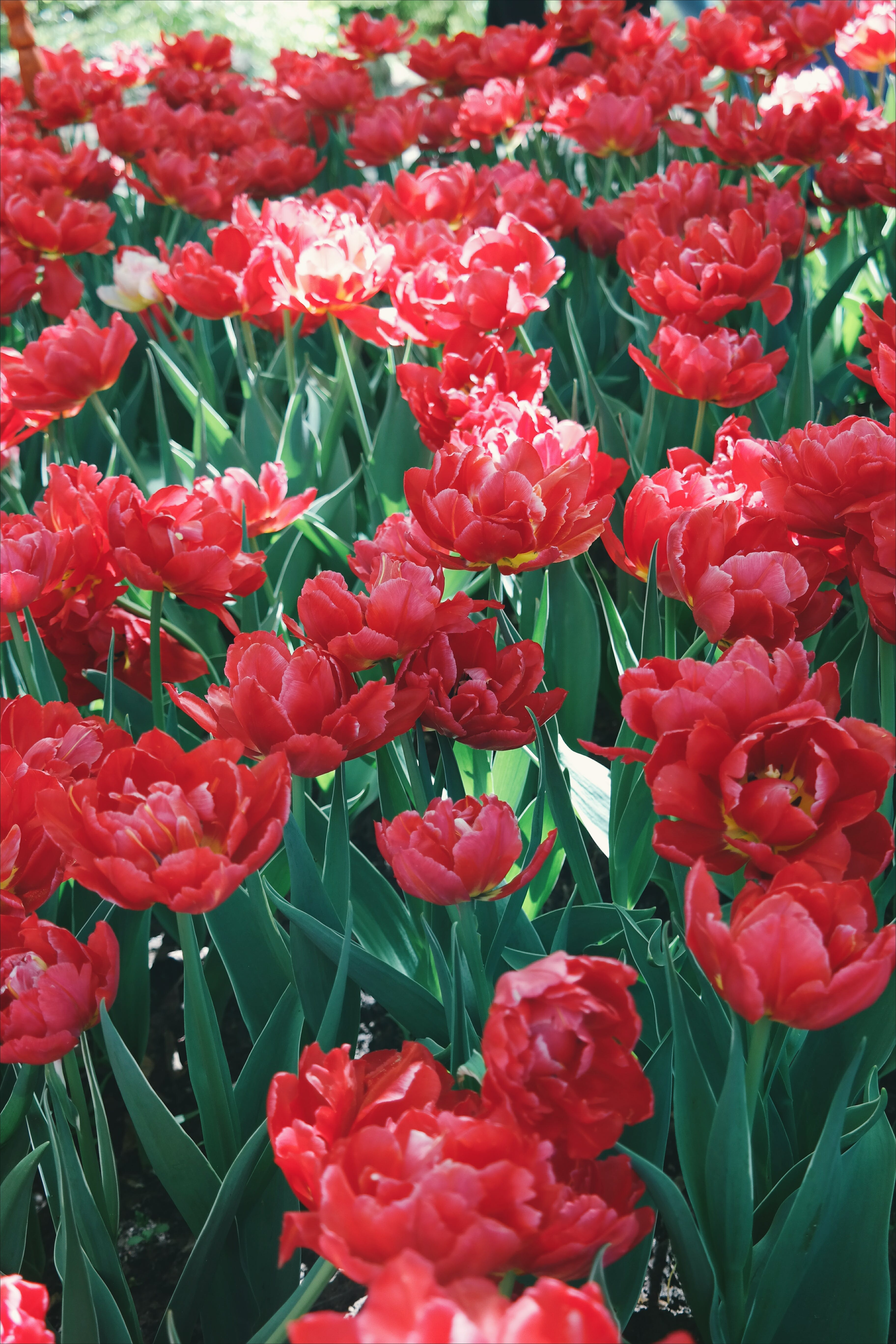 Darmowe zdjęcie z galerii z delikatny, dzikie kwiaty, flora, jaskrawy