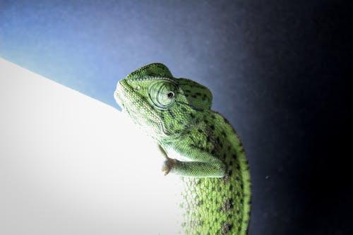 Ilmainen kuvapankkikuva tunnisteilla kameleontti, kevyt, vihreä