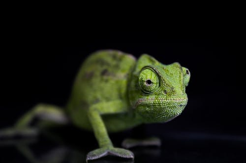 Green Chameleon on Black Surface