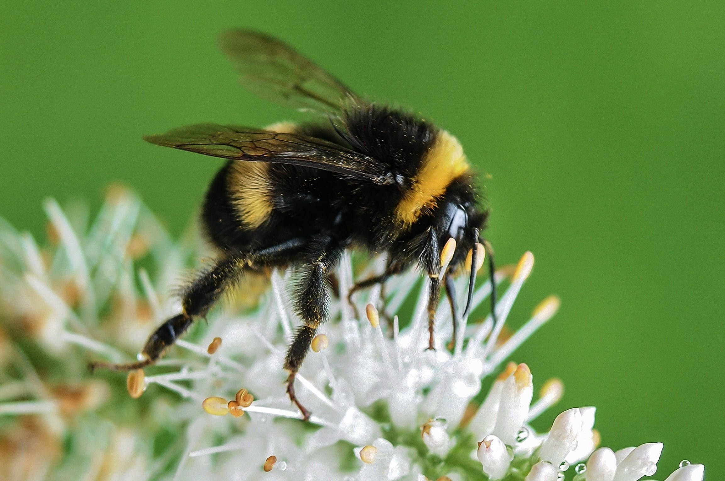 Closeup Photo of Bumble Bee on White Flowers