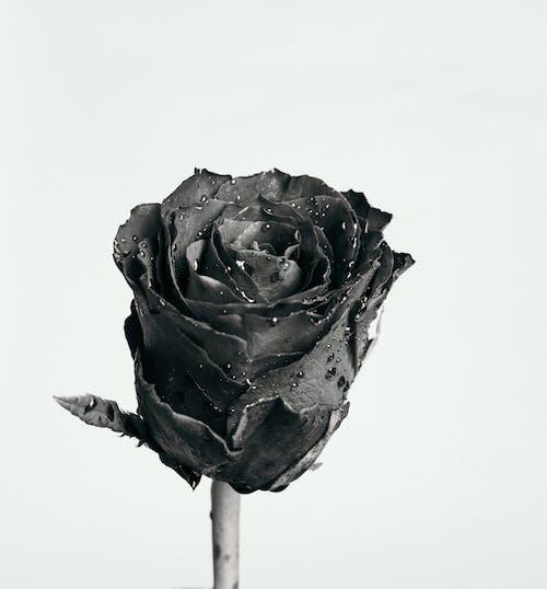 Ingyenes stockfotó fekete-fehér, közelkép, növényvilág, rózsa témában
